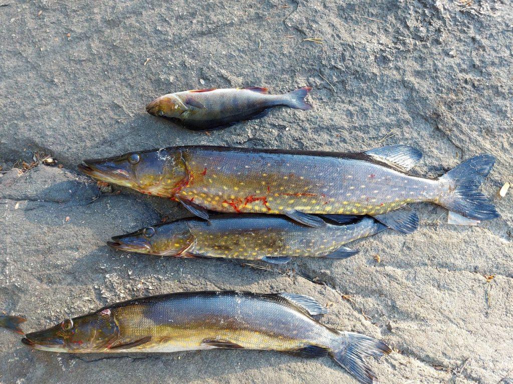Syk fisk